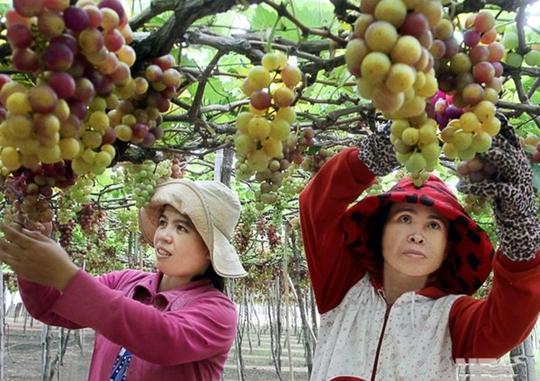 Cần chính sách để phát triển cây nho ở Ninh Thuận