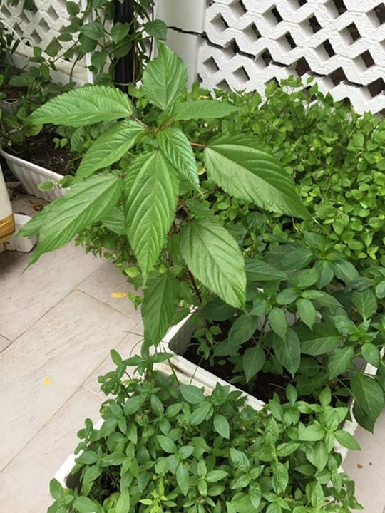 Vườn rau đủ loại của nhà Công Vinh - Thuỷ Tiên