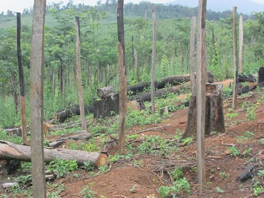 Lại rầm rộ phá rừng Tây Nguyên: Cạo trọc rừng Đắk Nông - Ảnh 1.