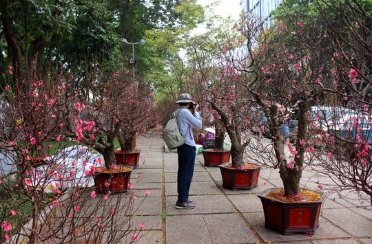 Những ngày cận tết, tại công viên 23-9 (quận 1) xuất hiện hàng trăm chậu hoa đào bung hoa tươi thắm khiến nhiều người thích thú.
