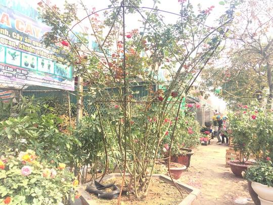 Cây hoa hồng cổ Sơn La này có giá gần 50 triệu đồng