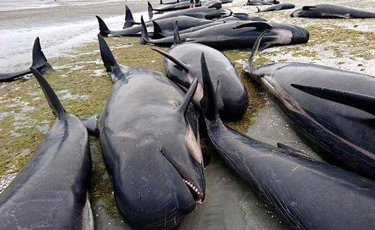 Hàng trăm con cá voi hoa tiêu mắc cạn ở New Zealand. Ảnh: REUTERS