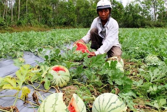 Nhiều ruộng dưa hấu nông dân Quảng Ngãi đến ngày thu hoạch nhưng không có thương lái thu mua. Ảnh: Tử Trực