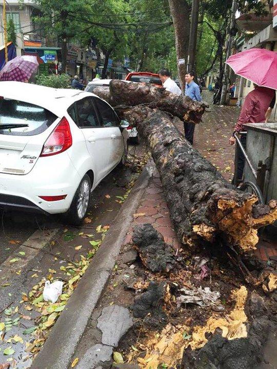 Thân cây xanh bị đổ đã bị mục - Ảnh: CTV