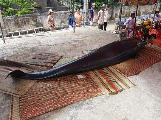 """Cá voi """"khủng"""" kiệt sức, dạt bờ biển Bình Định - Ảnh 1."""