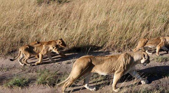 Kinh hoàng sư tử ăn thịt người trong công viên - Ảnh 1.