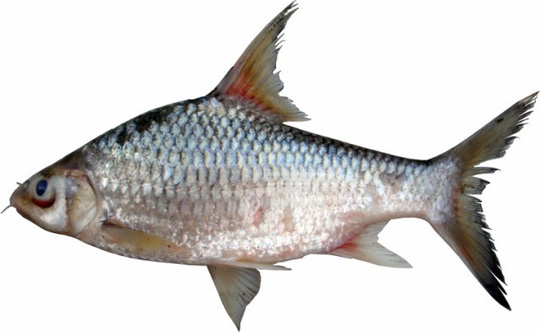 Cá duồng bay, đặc sản Đồng Nai là sinh vật thế nào? - Ảnh 1.