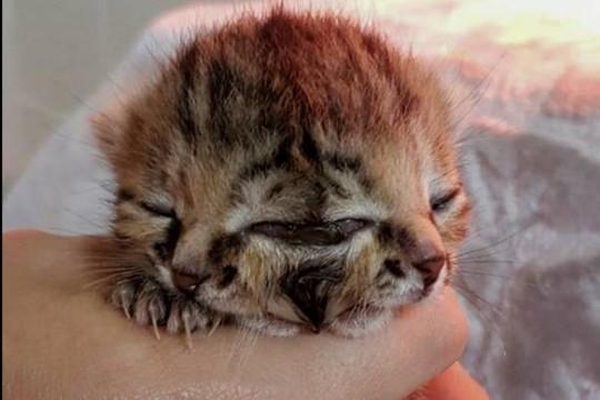 Mèo con 2 mặt gây sốt đã chết sau 16 ngày - Ảnh 1.