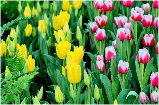 Lạc lối giữa ngàn hoa Tulip tại Vinpearl Land Nha Trang - Ảnh 5.