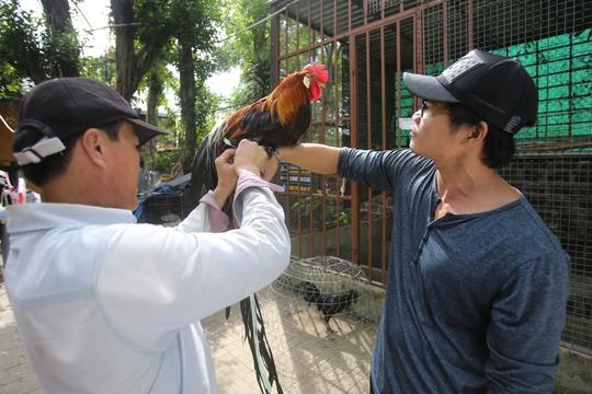Anh Phan Minh Hồng, chủ trại gà ở thị xã Dĩ An, tỉnh Bình Dương đang sở hữu nhiều giống gà quý, trong đó có giống gà Onagadori có nguồn gốc từ Nhật Bản. Gà này có đuôi rất dài, con trưởng thành có bộ đuôi dài từ 6-7m.