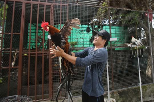 """Cận cảnh gà Nhật """"hot"""", đuôi dài 7m!"""