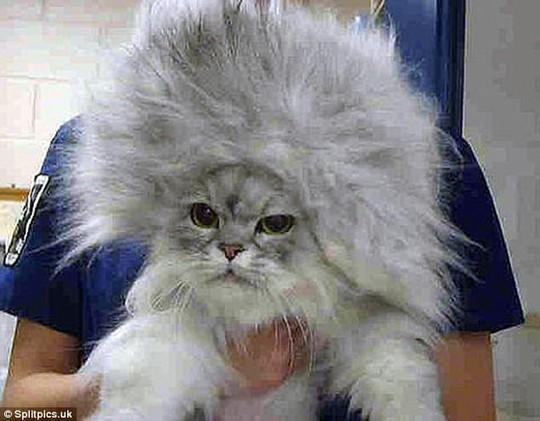 Những chú mèo có bộ lông độc đáo ai cũng phải bật cười - Ảnh 9.