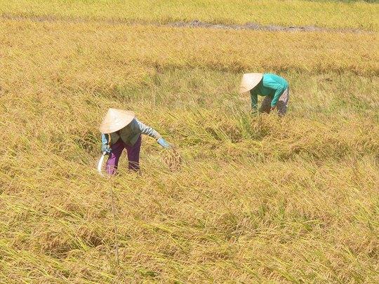 Nông dân làm đến 3 vụ lúa/năm nhưng lợi nhuận vẫn thấp