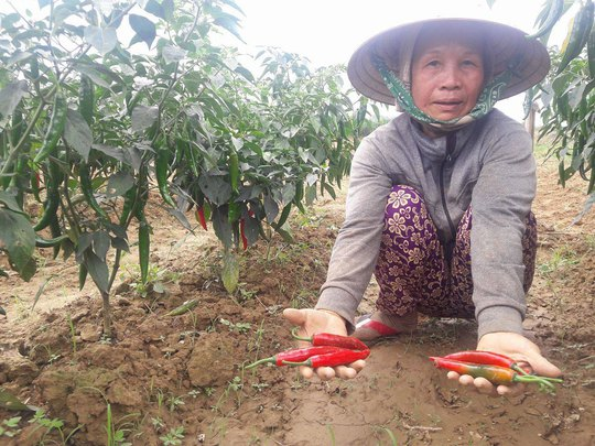 Bà Nguyễn Thị Thập, nông dân xã Duy Châu, bên vườn ớt chưa thu hoạch