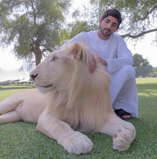 ... hay sư tử.