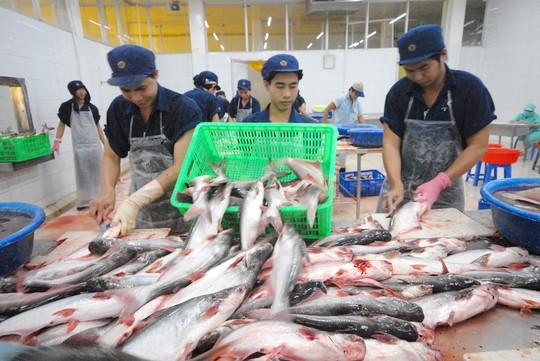 Cá tra bội thu: Tránh phụ thuộc Trung Quốc - Ảnh 1.