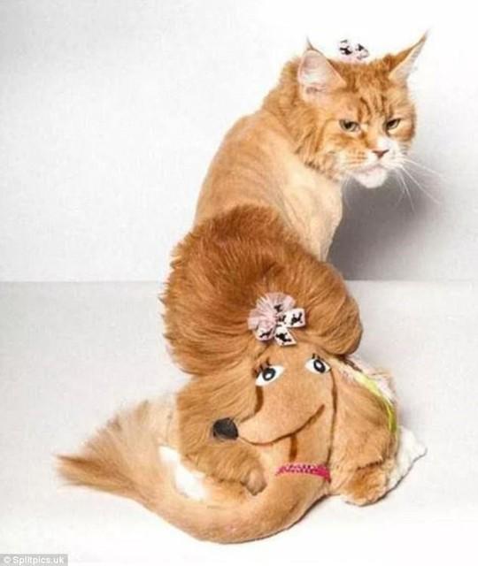 Những chú mèo có bộ lông độc đáo ai cũng phải bật cười - Ảnh 12.