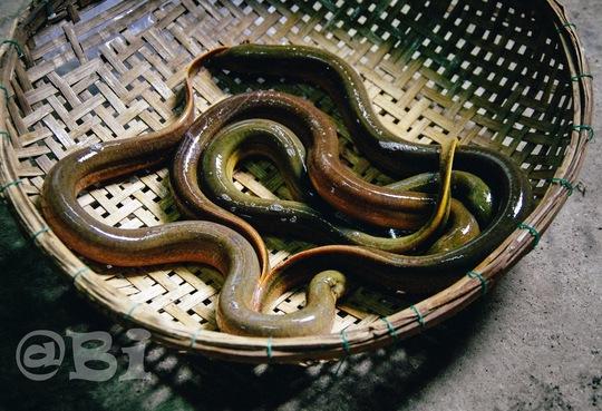 Lươn đồng tươi ngon