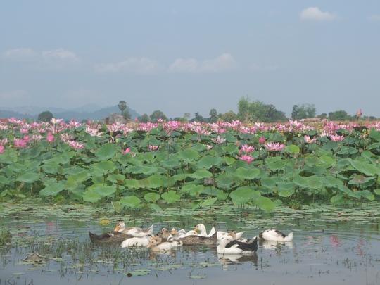 Một hồ sen tươi mát trên đảo Don Khon ở Si Phan Don