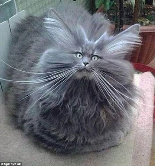 Những chú mèo có bộ lông độc đáo ai cũng phải bật cười - Ảnh 14.