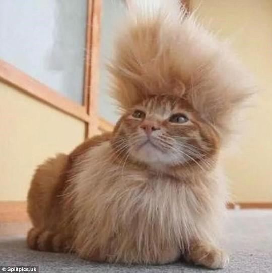Những chú mèo có bộ lông độc đáo ai cũng phải bật cười - Ảnh 15.