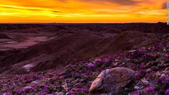 Hoa dại trong công viên sa mạc tiểu bang Anza-Borrego, miền Nam California, nở rộ. Ảnh do nhiếp ảnh gia Michael Zandy chụp đầu tháng 3. Ảnh: CNN