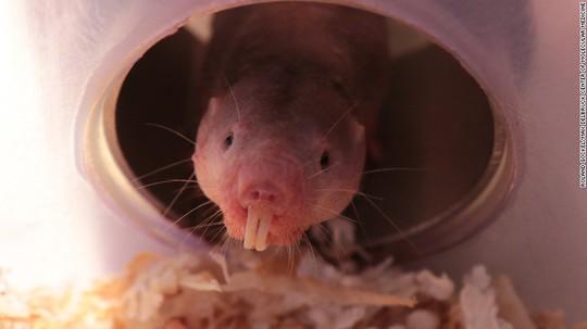 Chuột chũi Đông Phi có thể sống sót mà không cần oxy trong 18 phút. Ảnh: CNN