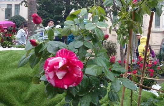 Lễ hội còn có một số loại hoa hồng đẹp
