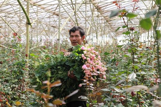 Nông dân Đà Lạt trồng hoa hồng trong nhà kính