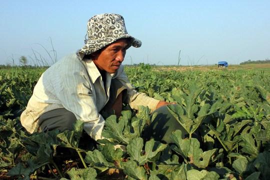 Nông dân Quảng Ngãi lo lắng vì dưa hấu đến ngày thu hoạch không có thương lái đến thu mua. Ảnh: Tử Trực