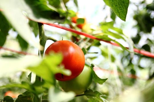 Cây giống cà chua Nhật Bản với giá 3.000 đồng/cây, trồng với mật độ khoảng 2.600 cây/sào, sau 75 ngày thì cà chua bắt đầu cho thu hoạch.