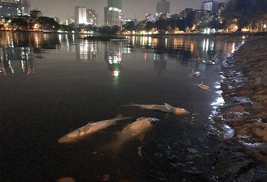 Cá hồ Hoàng Cầu lại chết bất thường hàng loạt - Ảnh 1.