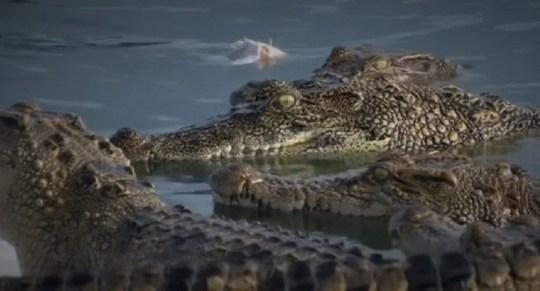 """Vì sao thịt cá sấu """"cháy hàng"""" ở Thái Lan? - Ảnh 2."""