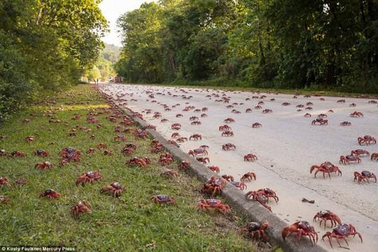 Cuộc di cư 'rầm rộ' của hàng triệu con cua đỏ - Ảnh 3.