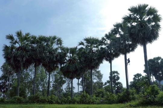 Sáng sớm, người dân vùng Bảy Núi thường leo lên cây thốt nốt để thu hoạch nước và trái