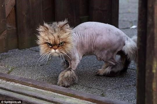 Những chú mèo có bộ lông độc đáo ai cũng phải bật cười - Ảnh 20.