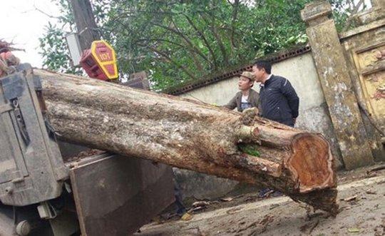 Cây sưa 200 tuổi ở Bắc Ninh được bán với giá 26 tỷ đồng.