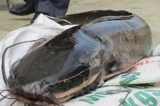 Cá trê thủy quái trên 10 kg/con: Nhìn đã thấy sợ, nói chi ăn - Ảnh 1.