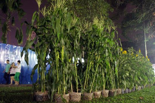 Những loại cây dân dã như bắp, thanh long,... cũng được bày bán làm chậu cây cảnh để phục vụ nhu cầu trang trí giản dị của nhiều người dân.