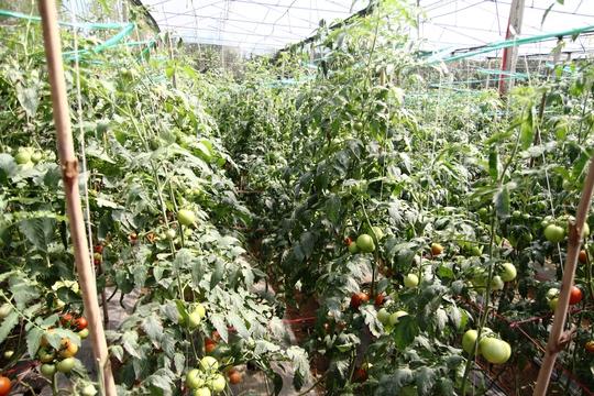 Trong khi những vườn khác cây khác èo uột và khả năng chỉ thu khoảng 1,5 – 2 tháng/vụ, thì vườn cà chua Nhật Bản Sakata của ông Nhã sẽ cho thu hoạch 6 – 8 tháng/vụ.
