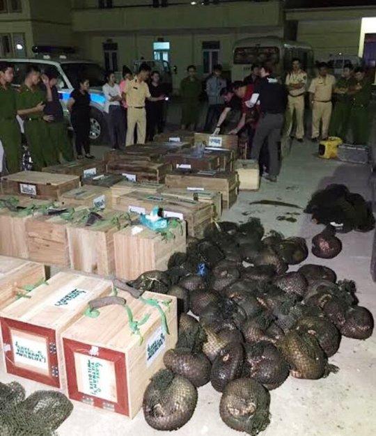 Số cá thể tê tê được lực lượng CSGT Công an tỉnh Hòa Bình thu giữ trong quá trình truy đuổi chiếc xe bỏ chạy