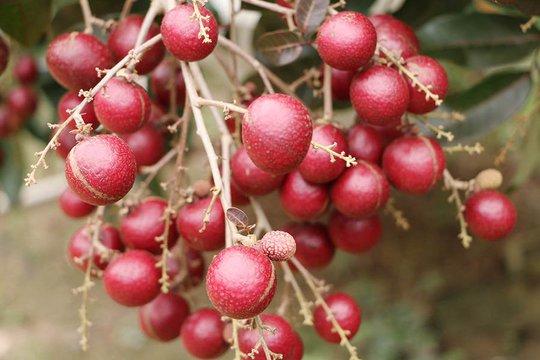 Nhãn tím độc nhất vô nhị miền Tây: Nhìn là mê, sờ là thích - Ảnh 3.