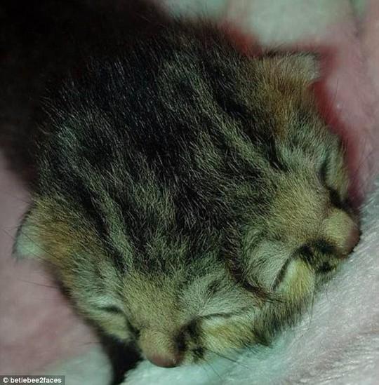 Mèo con 2 mặt gây sốt đã chết sau 16 ngày - Ảnh 2.