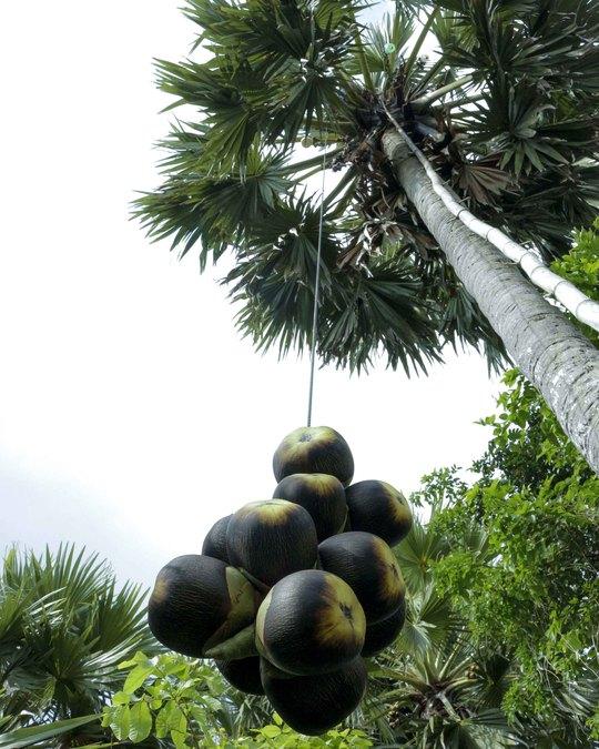 Mỗi cây thốt nốt cái cho từ 50- 60 trái, còn thốt nốt đực không có quả