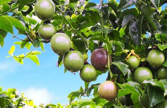 Quy mô trái cây của HAGL lớn đến mức nào? - Ảnh 1.