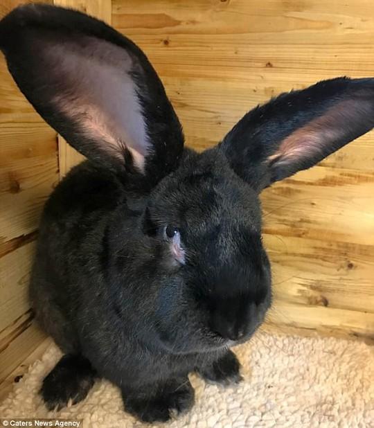 Chú thỏ Simon khi còn sống. Ảnh: Daily Mail