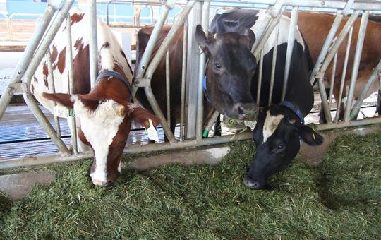 Bò sữa Organic đạt chuẩn 3 không và tuân thủ nghiêm ngặt tiêu chuẩn châu Âu.