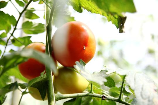 Sản lượng bình quân cà chua Sakata cho thu hoạch mỗi ngày là 1 tạ/sào (100 kg/1000 m2).