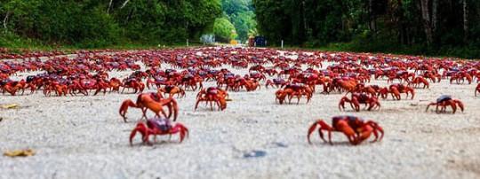 Cuộc di cư 'rầm rộ' của hàng triệu con cua đỏ - Ảnh 5.