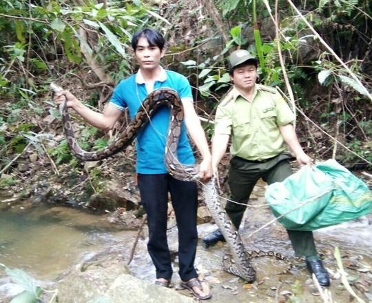 Một đầu bếp thả trăn gấm 17kg về khu bảo tồn - Ảnh 2.